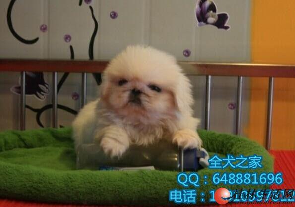 纯种京巴幼犬多少钱只全犬之家