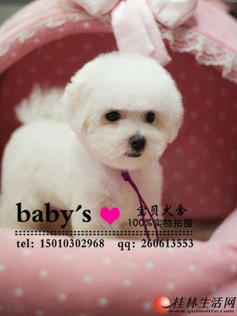 桂林那里有卖纯种比熊幼犬的多少钱一只