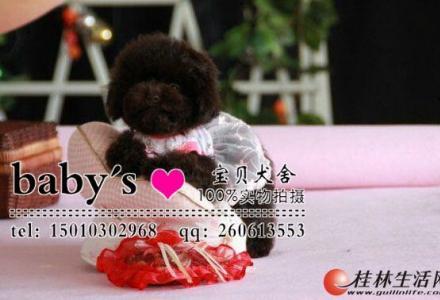 桂林那里有卖纯种泰迪幼犬多少钱一只