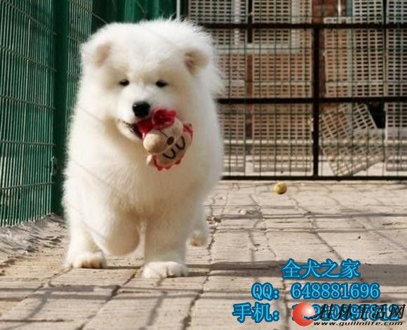 北京哪里出售纯种萨摩耶全犬之家