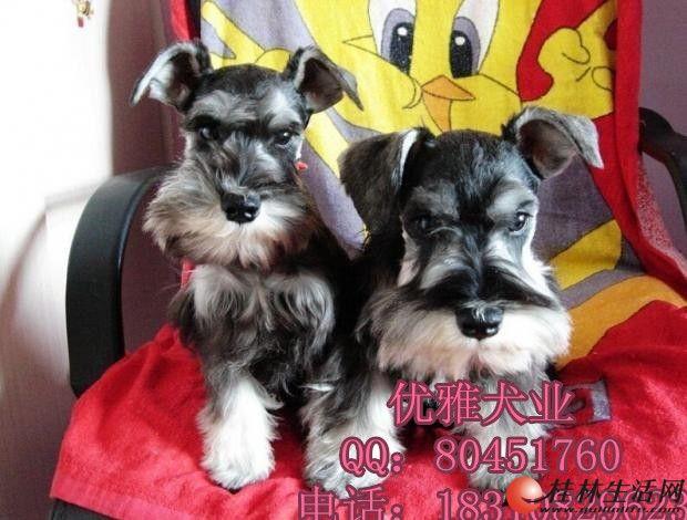 【优雅犬业】出售雪纳瑞幼犬/纯种雪纳瑞图片