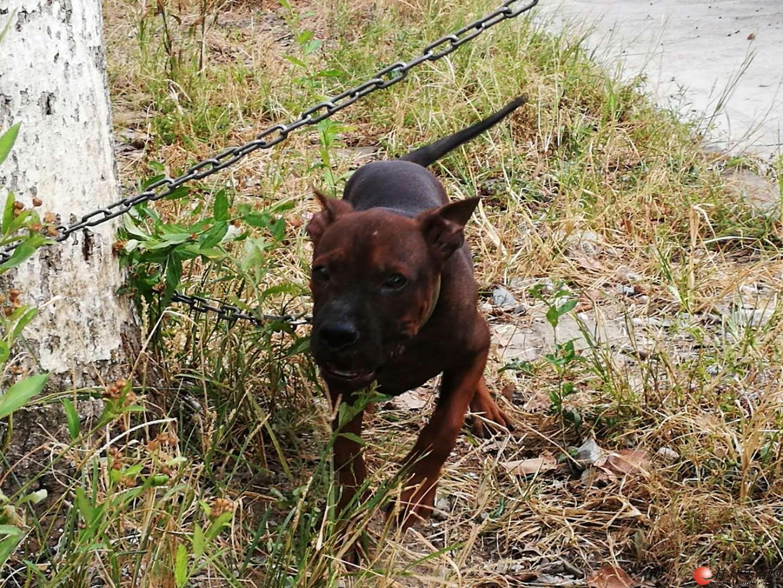 桂林那里有纯种川东猎犬出售