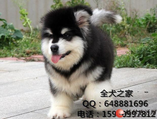 北京哪里出售纯种拉布拉多全犬之家