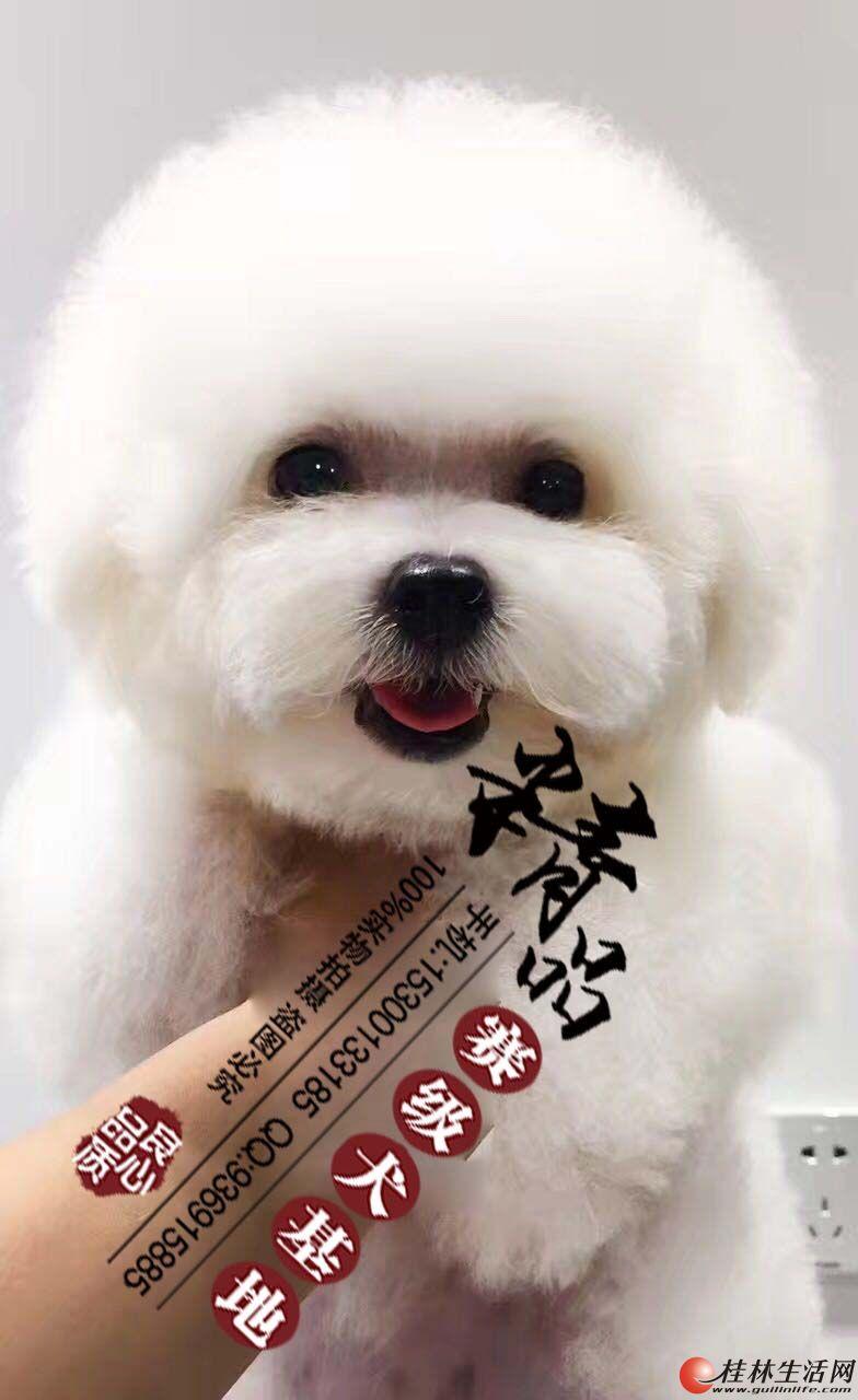 北京哪里出售纯种白色比熊幼犬的