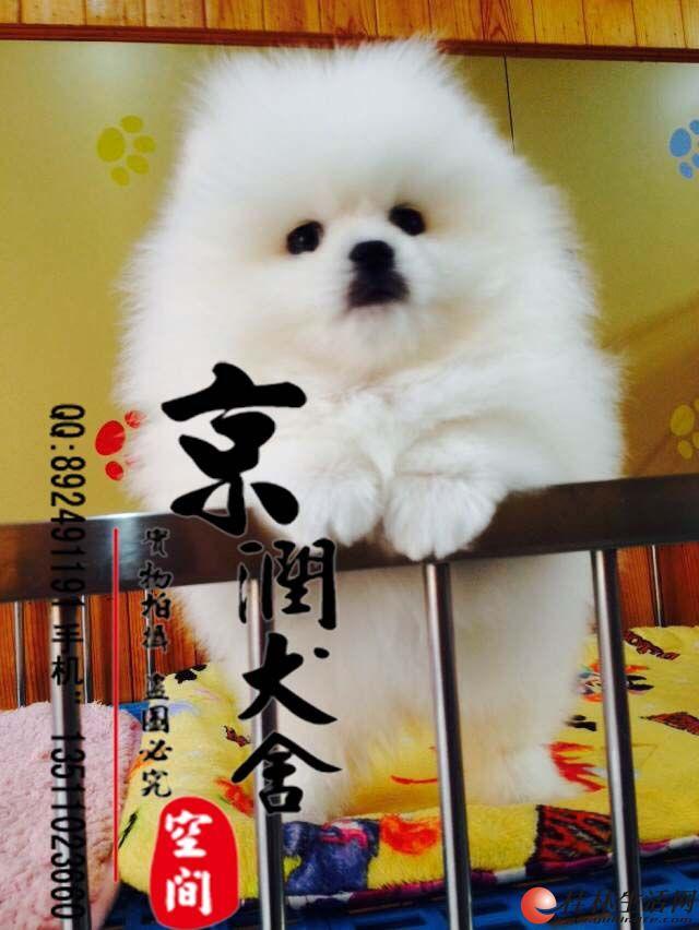 北京纯种博美幼犬多少钱一只哪里有卖博美幼犬的
