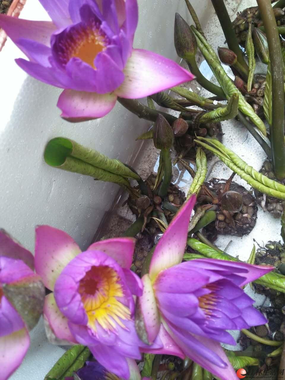 大量供应水生植物'观音莲'