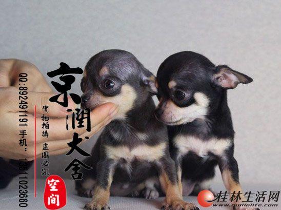 北京哪里有卖小型茶杯体吉娃娃的多少钱一只