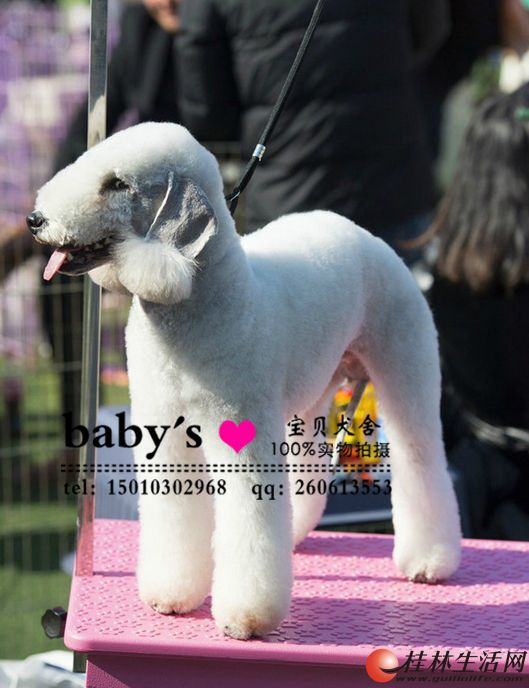 桂林哪里有卖纯种贝灵顿犬幼犬的