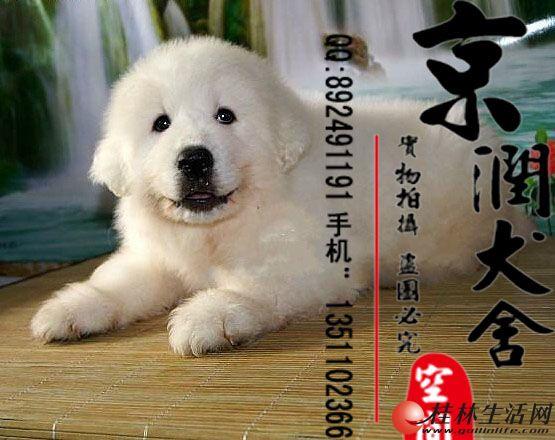 北京哪里有卖纯种大白熊幼犬的多少钱一只