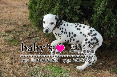 北京哪里有卖纯种斑点幼犬的
