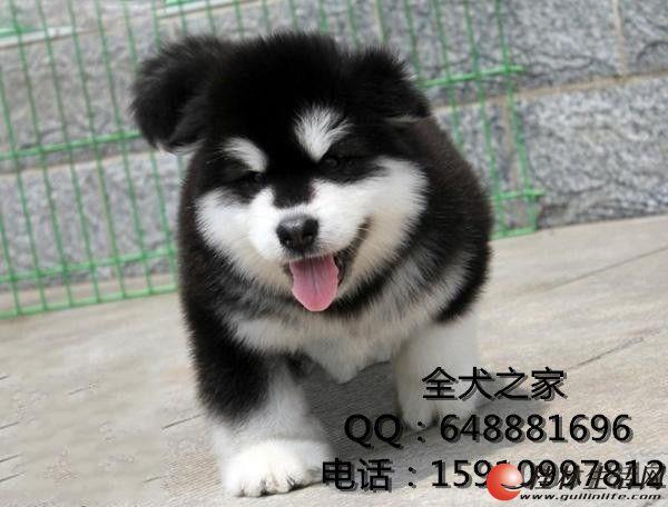 北京哪里出售纯种阿拉斯加全犬之家