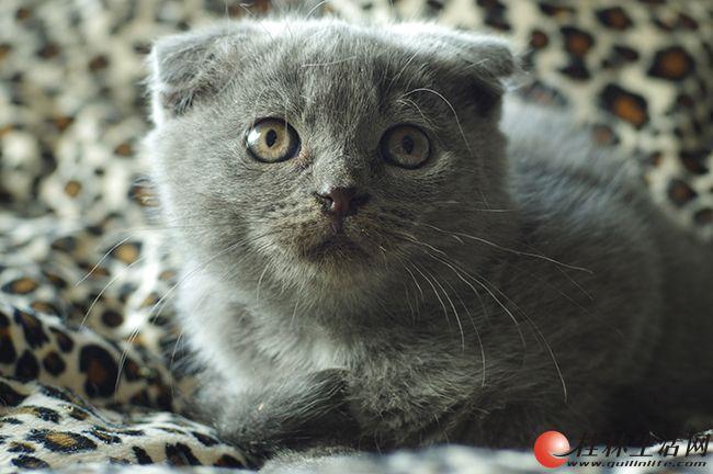 家养纯种英短折耳蓝猫,有公有母,桂林市区交易,可上门看猫,可见猫爸猫妈
