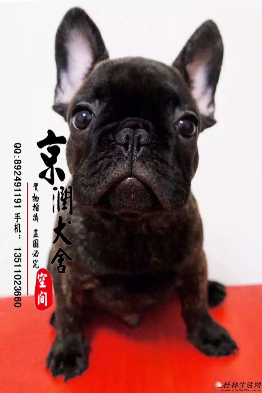 北京哪里的法国斗牛犬多少钱一只
