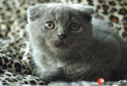 家养纯种英短折耳蓝猫,有公有母,银河国际网上娱乐网址区交易,可上门看猫,可见猫爸猫妈