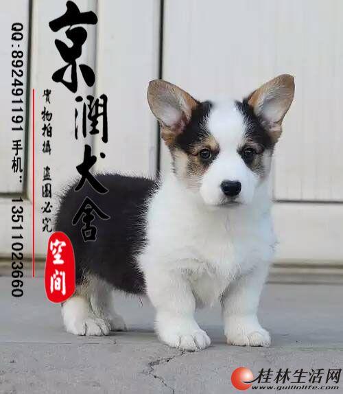北京纯种双色柯基幼犬多少钱一只