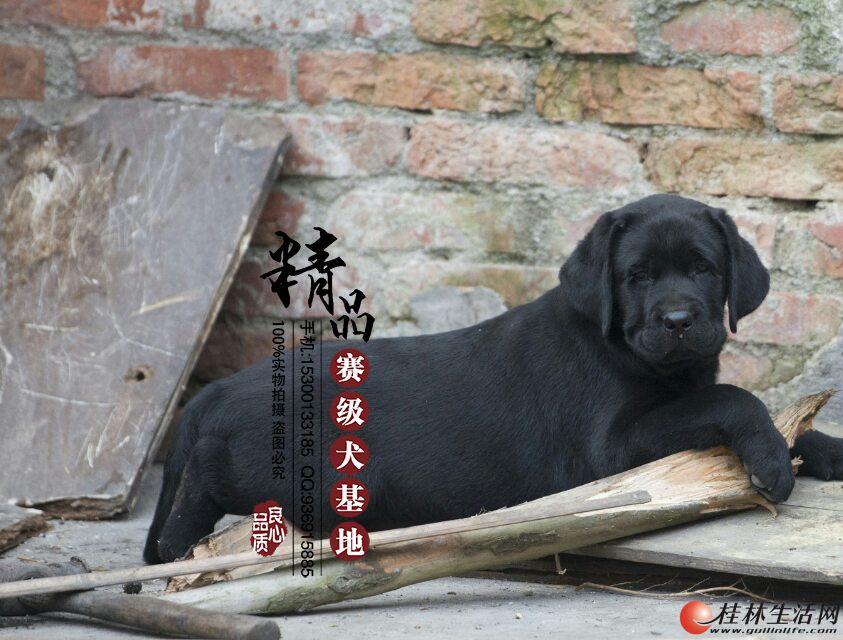 纯种拉布拉多幼犬哪里有卖的