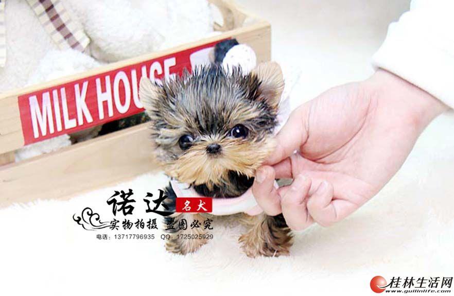 北京纯种约克夏幼犬多少钱
