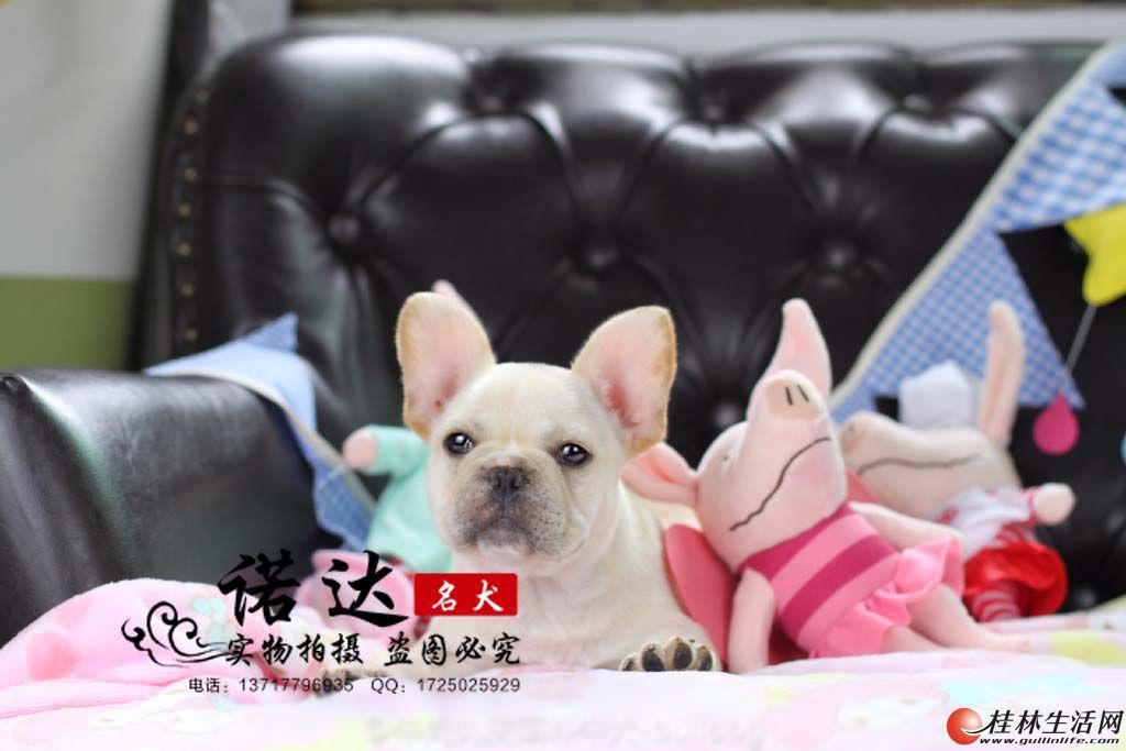 北京纯种法国斗牛犬多少钱一只