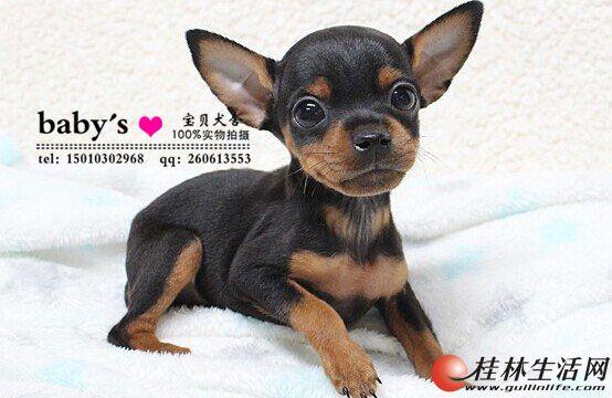 北京哪里有卖纯种小鹿犬幼犬的