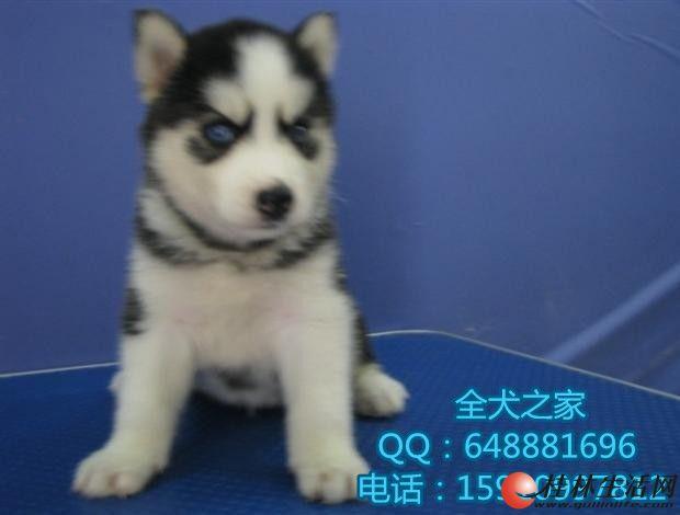 北京哪里出售纯种哈士奇全犬之家