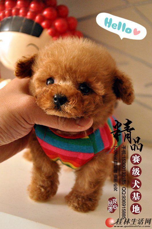 北京哪里出售纯种泰迪幼犬