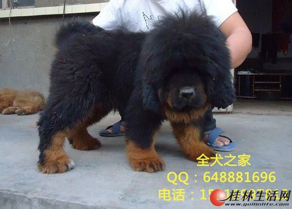 北京纯种藏獒幼犬多少钱一只纯种藏獒幼犬哪里出售全犬之家