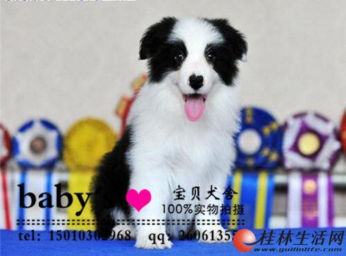 北京哪里有卖纯种边境牧羊犬幼犬的