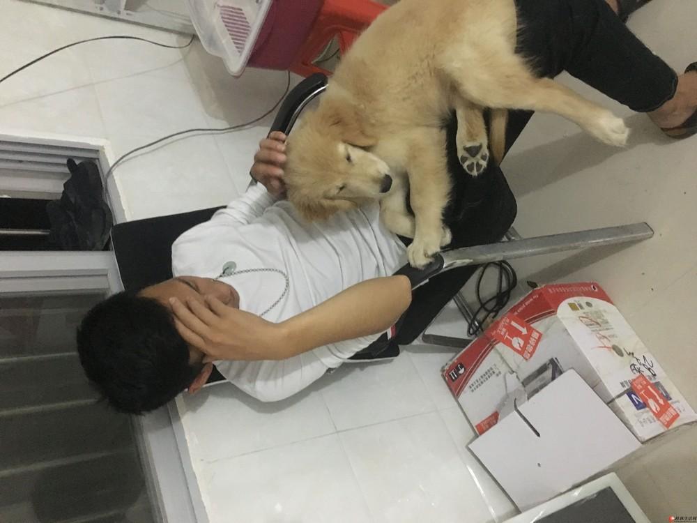 免费赠送金毛幼犬一只,三个月