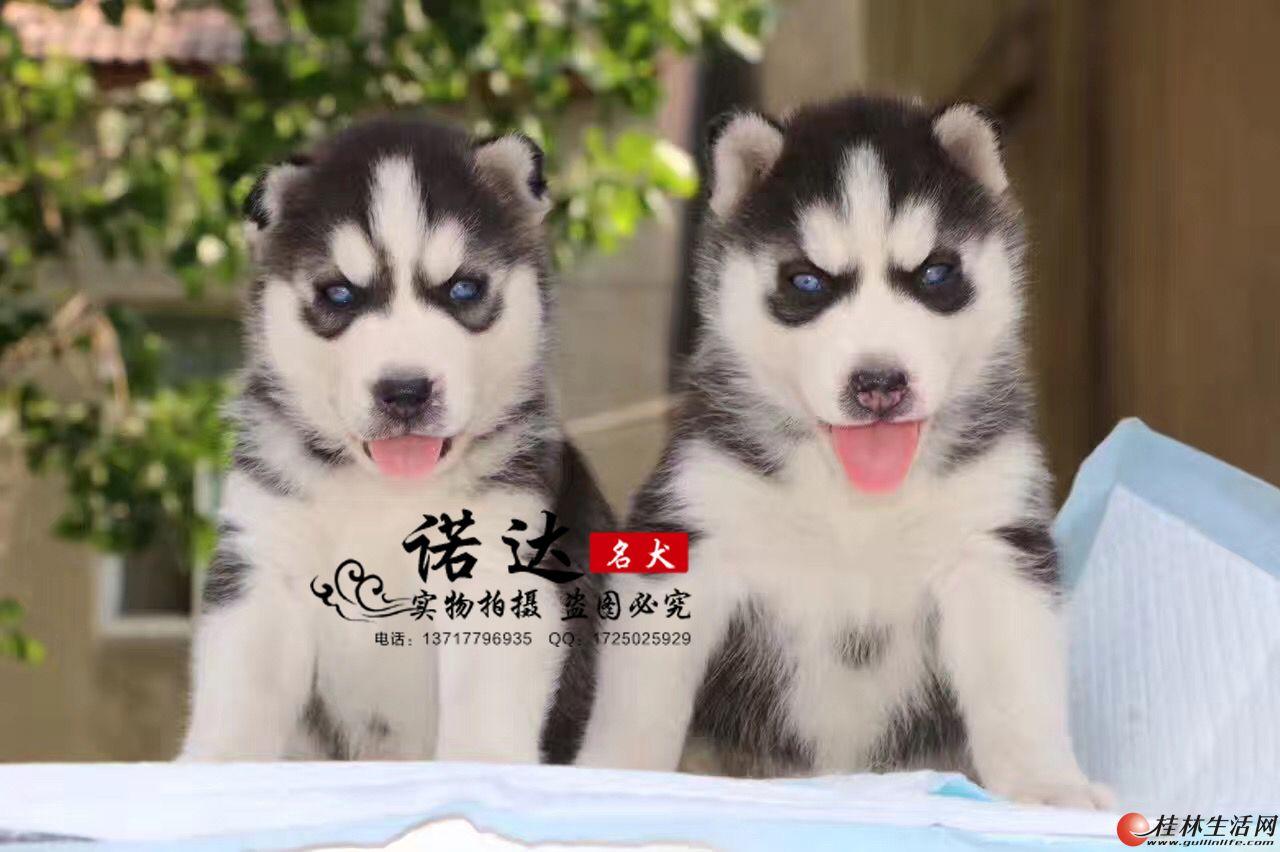 哪里有卖纯种小体俊介犬的