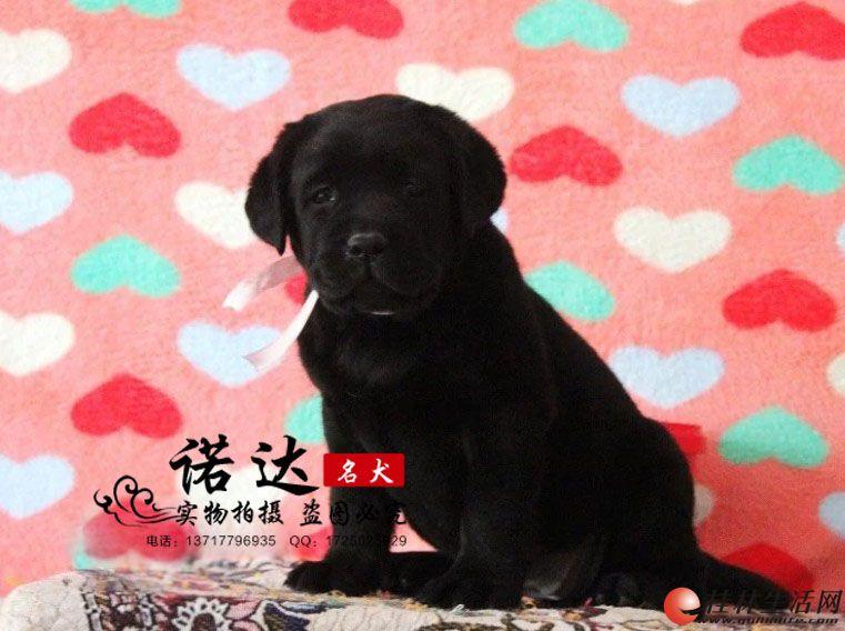 哪里卖纯种黑色拉布拉多犬