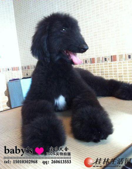 桂林哪里有卖纯种阿富汗幼犬