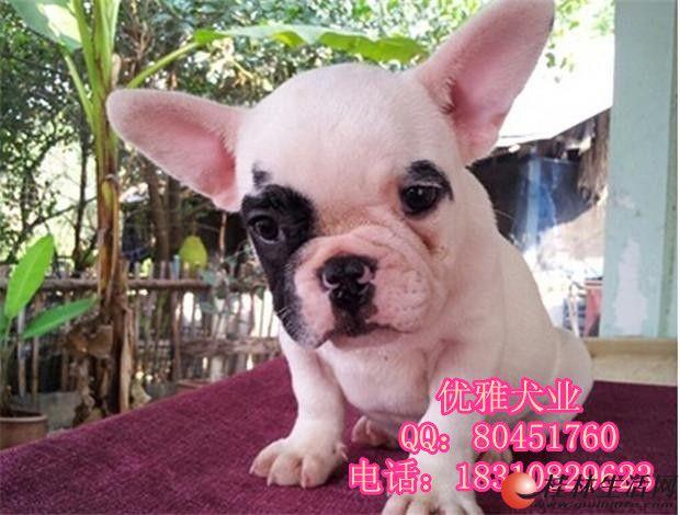 北京哪里出售纯种法国斗牛犬