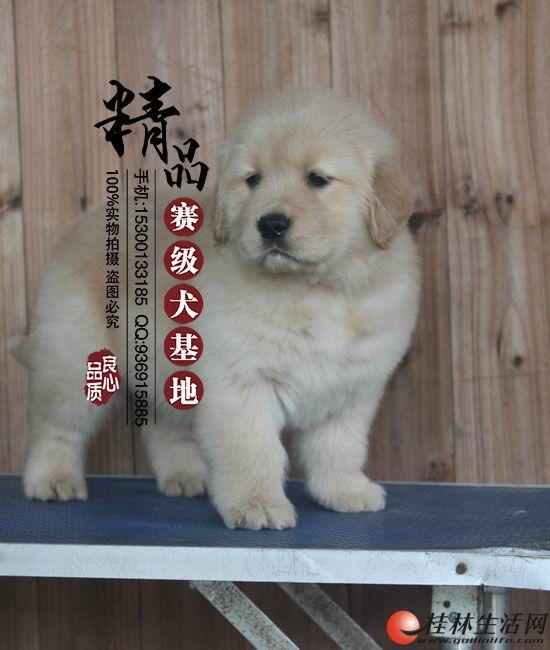 天津哪里出售纯种金毛幼犬