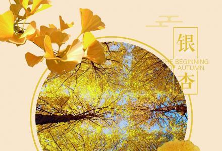桂林海洋乡银杏一日游