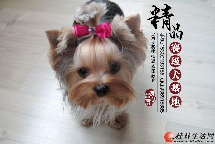 北京哪里出售纯种约克夏幼犬 多少钱一只