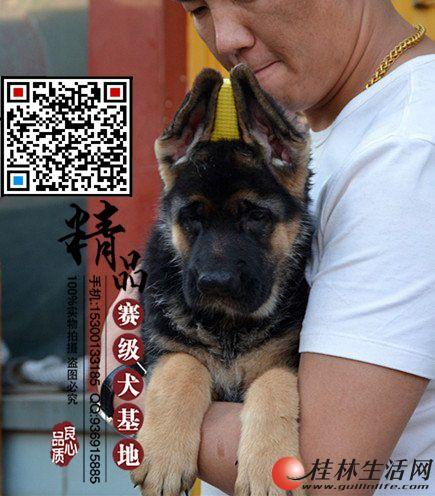 北京哪里出售纯种德国牧羊犬