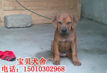 桂林哪里有卖纯种比特幼犬