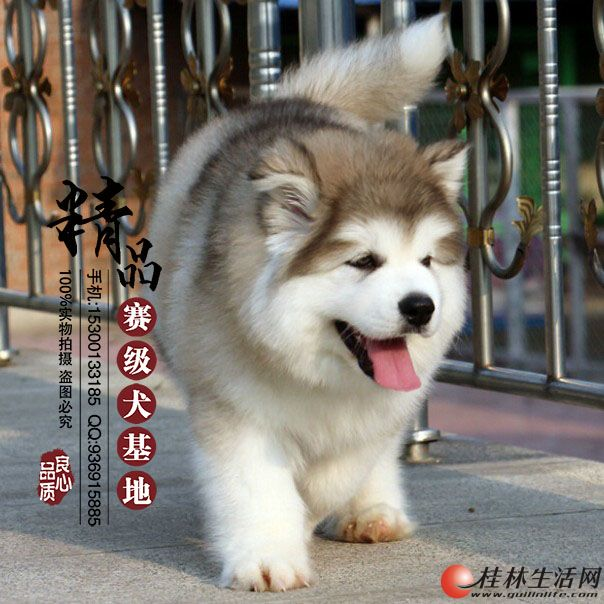 香河哪里出售纯种阿拉斯加幼犬