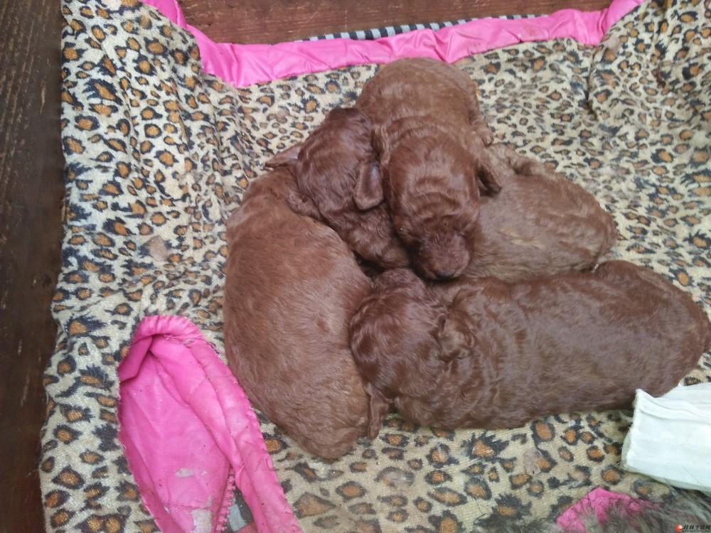 棕色贵宾犬2母一公哟