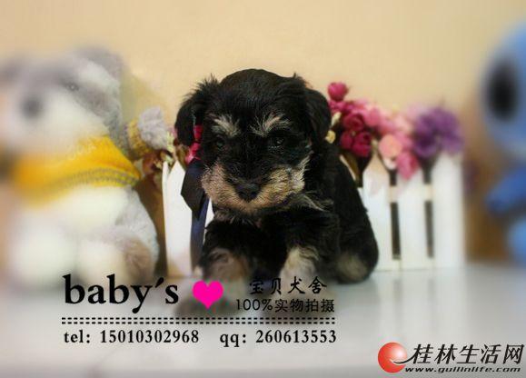桂林纯种雪纳瑞幼犬多少钱一只