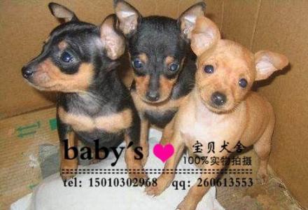 桂林纯种小鹿犬幼犬多少钱一只