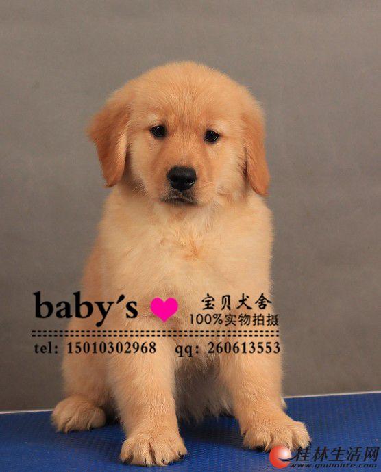 石家庄纯种金毛幼犬多少钱一只