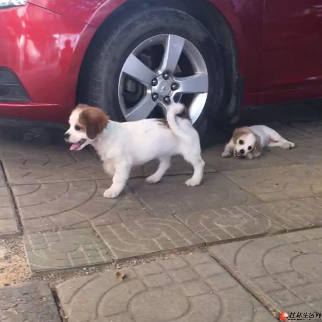 家养小狗出售,200一只