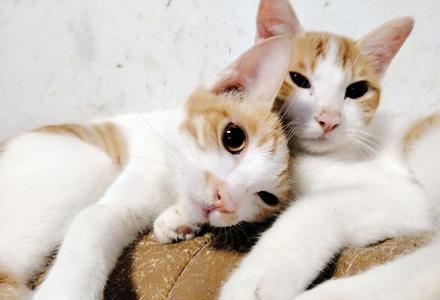 可爱健康粘人猫咪免费领养