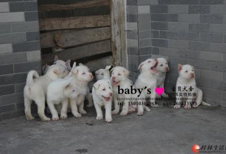 桂林纯种下司幼犬多少钱一只