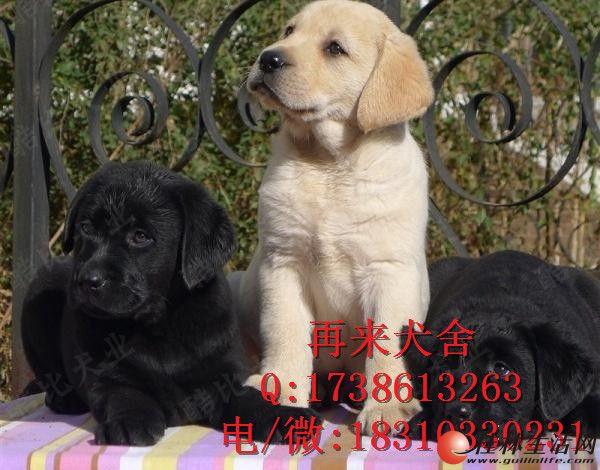拉布拉多幼犬出售 骨量极佳 赛级血统 欢迎前来挑选