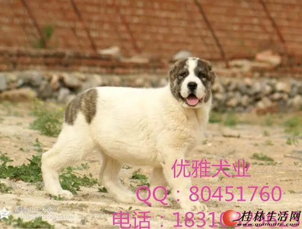 常年出售中亚牧羊犬幼犬打斗血统,结构合理骨架完美。