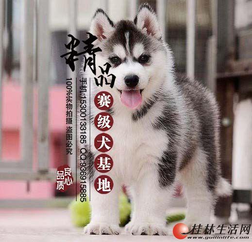 香河哪里卖纯种哈士奇幼犬
