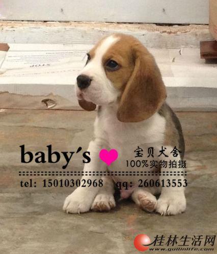 桂林纯种比格幼犬多少钱一只