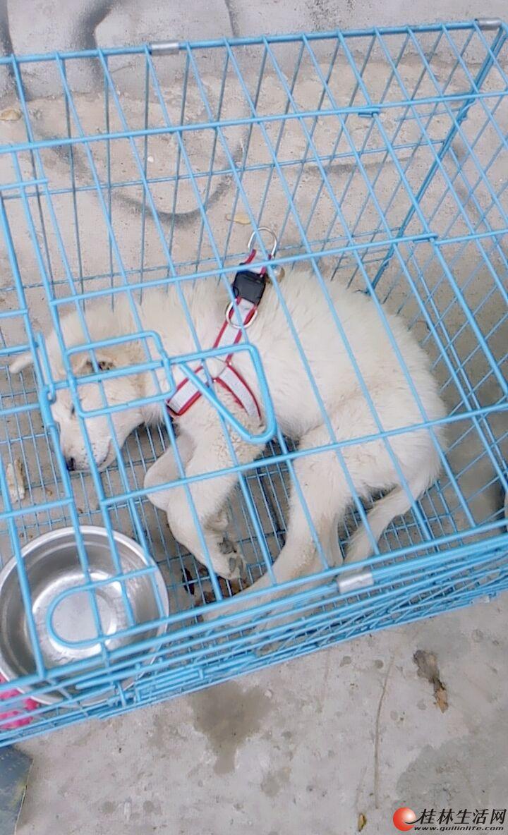 我家可爱的狗狗,萨摩耶,底价出